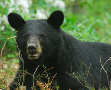 This Week in the Poconos » PA Game Commission talks Black Bears
